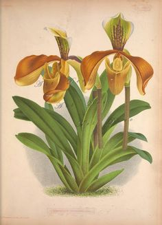 Orchid Botanical Print, good site for printable digital images