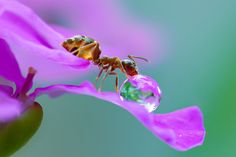 A macro view of an ant taking a sip from a water droplet on the edge of a flower in Obihiro, Japan. Animal-Lover Miki Asai has gone a step beyond feeding bread to the ducks – by syringe-feeding water to tiny ants. The office worker from Obihiro City, Japan, squirts droplets near the tiny insects and then uses a macro lens to capture quenching their thirst. The amateur photographer started capturing these images near her house in July 2013 after spotting an ant struggling in the rain. (Photo…