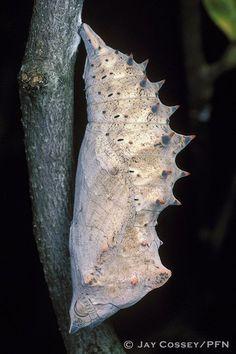 Nymphalis antiopa [mourning cloak chrysalis]