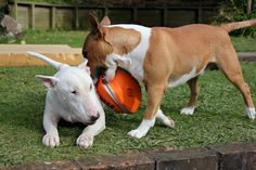 English Bull Terrier #dogs #animal #bull #terrier