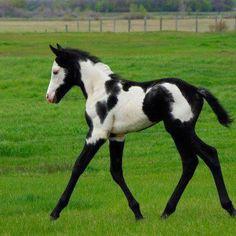 Paint horse foal. Beautiful!