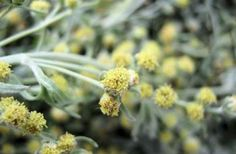 See related links to what you are looking for. Artemisia Absinthium, Simple Minds, Creatures Of The Night, Healing Herbs, Medicinal Plants, Alternative Medicine, Beauty Secrets, Health Tips, Herbalism