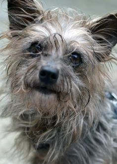 5 / 11     ***SENIOR*** Petango.com – Meet Phillimena, a 8 years 1 month Terrier / Mix available for adoption in LYNNWOOD, WA Address  15305 44th Avenue W, LYNNWOOD, WA, 98087  Phone  (425) 787-2500  Website  http://www.paws.org  Email  info@paws.org