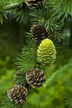 Larch Cones- one of thefew decidous conifers -they turn golden and drops needles in the fall much like a maple does