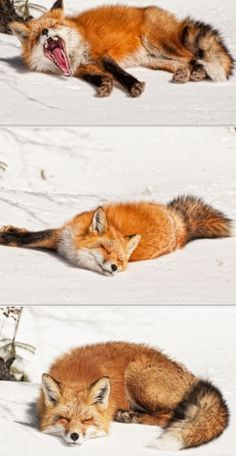 Sleepy Head Fox, looks like our mascot Fred! This is how I feel after a long flight Nature Animals, Animals And Pets, Baby Animals, Cute Animals, Beautiful Creatures, Animals Beautiful, Fantastic Fox, Pet Fox, Fox Art