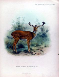 Vintage Printable at Swivelchair Media - Beta | Animal – Deer and related