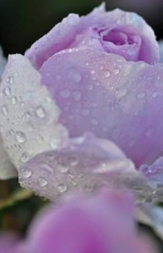 #Dew #Dewdrops #Raindrops #Waterdrops #Flower  #Rose #Purple    (Source: Media Azu ♥風よ雨よ優しく (@Je_tu_aime_j) | Twitter | 10 April 2016 |  THIS Post: 16 May 2016 (Monday)