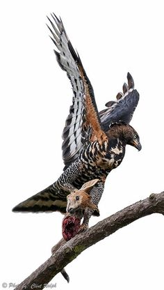 A Crowned Eagle with its kill, a small antelope African Crowned Eagle, White Tailed Eagle, Dangerous Animals, Animal Species, Vertebrates, Birds Of Prey, Colorful Birds, Fantastic Beasts, Wildlife Photography
