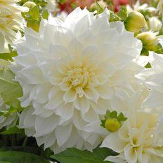 Die Dahlie 'Fleurel' leuchtet wunderbar in der Sommersonne. Pflanzzeit für die Knollen ist im Frühling - online erhältlich bei www.fluwel.de