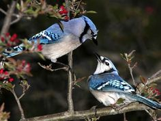 A pair of Blue Jays ~ This bird is so very special as it was said to me by my Mom that she would come to see me after she passed ~  via this beautiful Blue Jay!