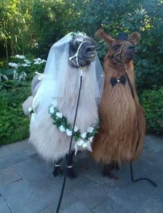 Wedding Llamas