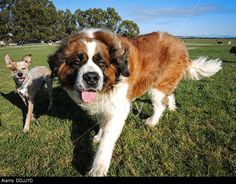 dog walking forward - Google Search Call Of The Wild, Dog Walking, Google Search, Dogs, Animals, Animales, Animaux, Pet Dogs, Doggies