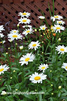 Classic Perennials (That Every Flower Garden Needs) - Gingham Gardens