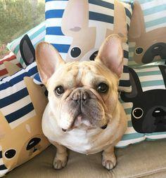 oh romeo. French Bulldog