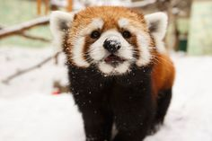 Three fur babies are now on display at the Edmonton Valley Zoo. Panda Babies, Fur Babies, Crazy Animals, Cute Animals, My Spirit Animal, Squirrels, Otters, Events, Display