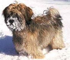 How to Identify a Tibetan Terrier thumbnail