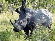 The White Rhino Is The Most Numerous Of All 5 Rhinoceros Species.