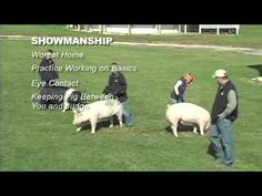 Exercise Programs / Showmanship on pigs Livestock Judging, Showing Livestock, Pig Showing, 4 H Club, Goat Care, Pig Pen, Animal Science, Animal Projects, Ffa