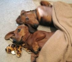 Sweet Dreams.                                       I love my Dachschund!!