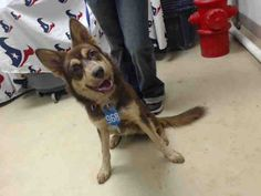 This DOG - ID#A467443 - URGENT - Harris County Animal Shelter in Houston, Texas…