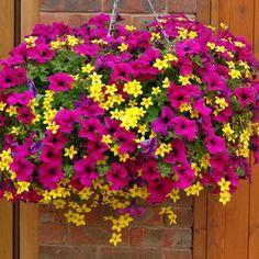 pétunias en rose vif et bidens aurea en jaune dans un pot suspendu