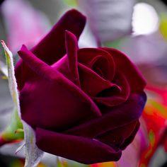 Cardinal Rose  by Jack o' Lantern, via Flickr