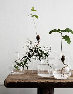 Garderning Hydroponic Indoor hydroponic gardening and rooting plants in water is the latest trend in green decor: ever tried it at home? - Indoor hydroponic gardening and rooting plants in water is the latest trend in green decor: ever tried it at home? Plantas Indoor, Round Glass Vase, Deco Nature, Hydroponic Gardening, Organic Gardening, Container Gardening, Potting Soil, Water Plants, Plant In Water