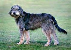 Griffon Nivernais - French - Medium Scenthound Griffon Nivernais, Pet Dogs, Pets, Hunting Dogs, Dog Breeds, Puppies, French, Medium, Animals