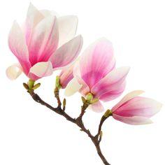 Resultat av Googles bildsökning efter http://www.richmondsmilecenter.com/blog/wp-content/uploads/2012/09/magnolia.jpg