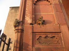Palasser og apekatter i India! Nærmere bestemt Agra Fort.