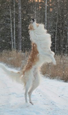 Borzoi on Hind Legs (Attacking Evil Snowflakes) [Fanny Victoria Classon] Beautiful Dogs, Animals Beautiful, Animals And Pets, Cute Animals, Borzoi Dog, Whippets, Russian Wolfhound, Belle Photo, Pet Birds