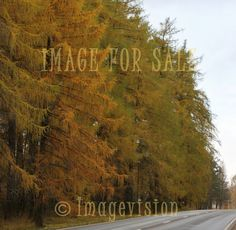 for sale autumn colours in larches