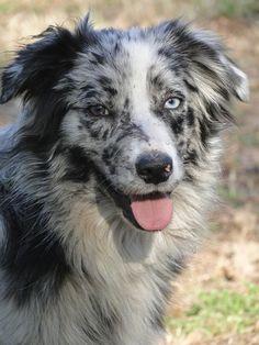 Australian Shepherd Blue Merle