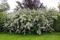 Żylistek niesamowity krzew ogrodowy
