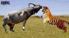 Tiger vs lion, vs bear, vs antelope, vs buffalo, vs giraffe Part 2