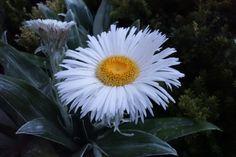 NZ Daisy