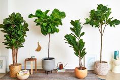 Attractive Wayfair Artificial Plants The Best Faux Fiddle Leaf Fig Tree Apartment Therapy intended for ucwords] Fake Plants Decor, Faux Plants, Real Plants, Plant Decor, Indoor Plants, Decorating With Fake Plants, Faux Outdoor Plants, Garden Plants, Indoor Outdoor