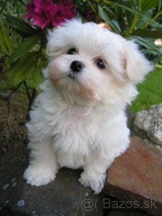 It cannot be disputed that pets are great companions for kids and adults. Besides being mere companions, scientific evidence has proven that pets can promo Puppies And Kitties, Baby Puppies, Baby Dogs, Cute Puppies, Cute Dogs, Doggies, Havanese Puppies, Teacup Puppies, Maltese Dogs