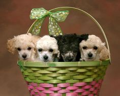litter of poodle puppies pose in basket picture