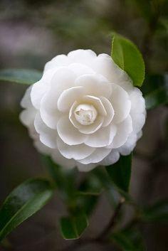 Camellia Japonica 'Matterhorn'!