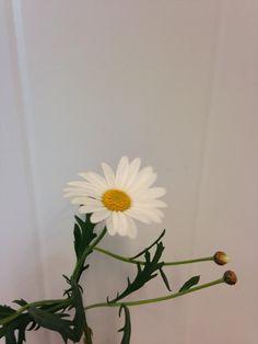 Norsk navn: Margerit Botanisk navn: Argyranthemum frutescens