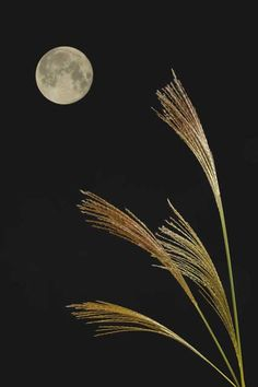 "Tsukimi お月見 - Tsukimi means ""moon-gazing"". It's a Japanese custom to enjoy and appreciate the beautiful mid-September full moon, by offering Dango (dumpling) with pampas grass to the moon."