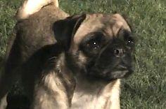 Presenting Loca, The Pug Who Couldn't Run