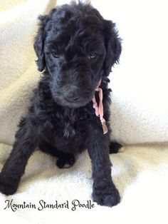 12 Best Ruby, a standard poodle puppy images in 2013