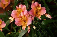 Toscana** - Alstromeria - Flowers by category   Sierra Flower Finder