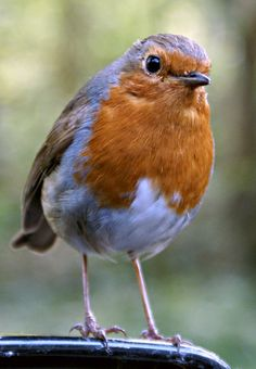 English Robin.