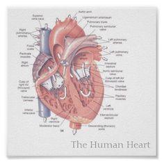 human heart anatomy and physiology pdf pictures, human heart anatomy and physiology pdf photos, human heart anatomy and physiology pdf image gallery Human Body Anatomy, Human Anatomy And Physiology, Muscle Anatomy, Anatomy Organs, Heart Anatomy, Cardiac Nursing, Medical Anatomy, Cardiac Anatomy, Anatomy Study