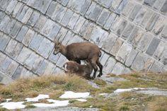 Femmina che allatta il suo capretto (foto di M.Canziani) presso la diga al Lago Baitone, in Val Malga, ripresi nel corso del Censimento Stambecco Adamello 2013 (www.uomoeterritoriopronatura.it)