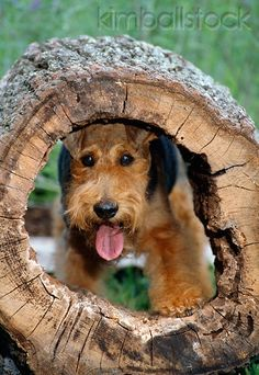 Welsh Terrier playing peek- a- boo through a hollow Log > #dogs #pets #WelshTerriers Facebook.com/sodoggonefunny