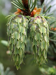 Cones of Pseudotsuga menziesii var. Unusual Flowers, Unusual Plants, Exotic Plants, Amazing Flowers, Conifer Trees, Trees And Shrubs, Trees To Plant, Fruit Seeds, Seed Pods